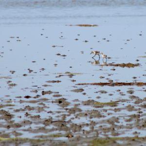 Broedeilandjes voor kustbroedvogels zoals kluten