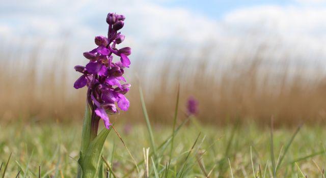 Harlekijnorchidee Dijkwater