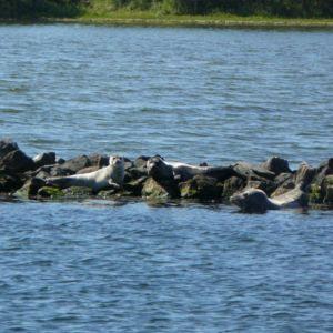 jonge zeehonden in de Grevelingen