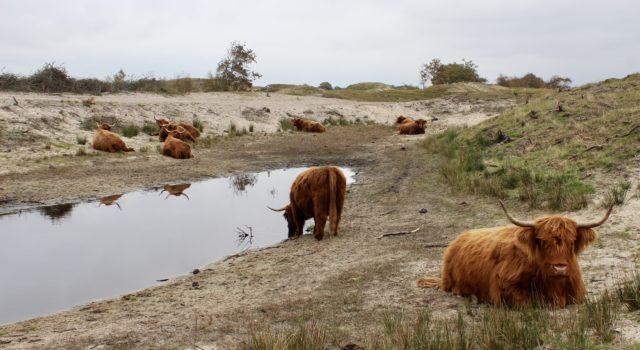 Schotse hooglanders poel het Groene Duin