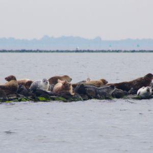 Zeehonden Grevelingenweek