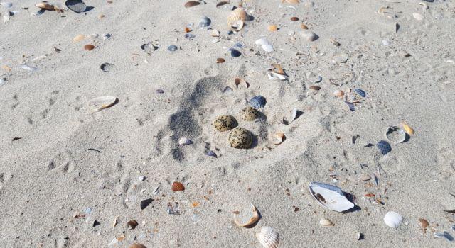Nest strandplevier - Foto Geoge Tanis