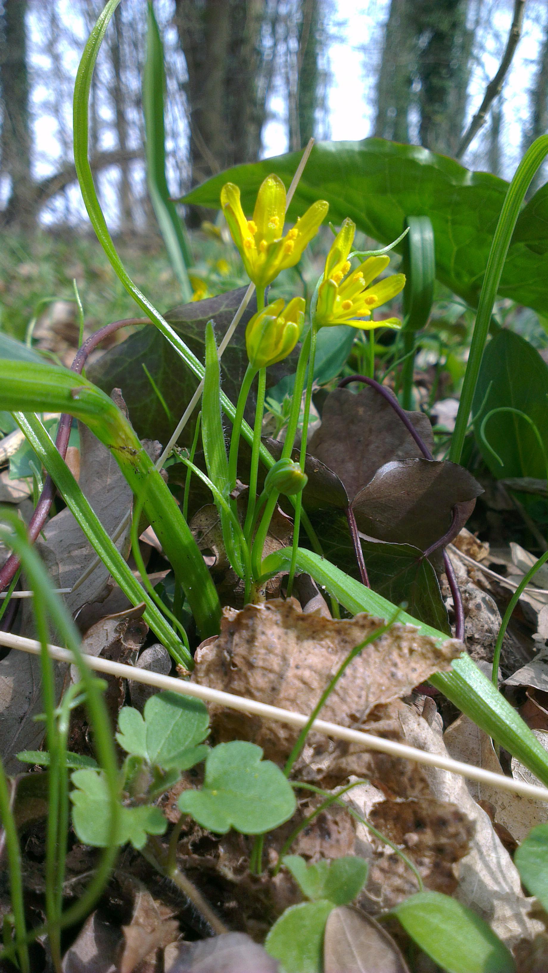 De bosgeelster, bloeiend bij de slotheuvel van Bronckhorst