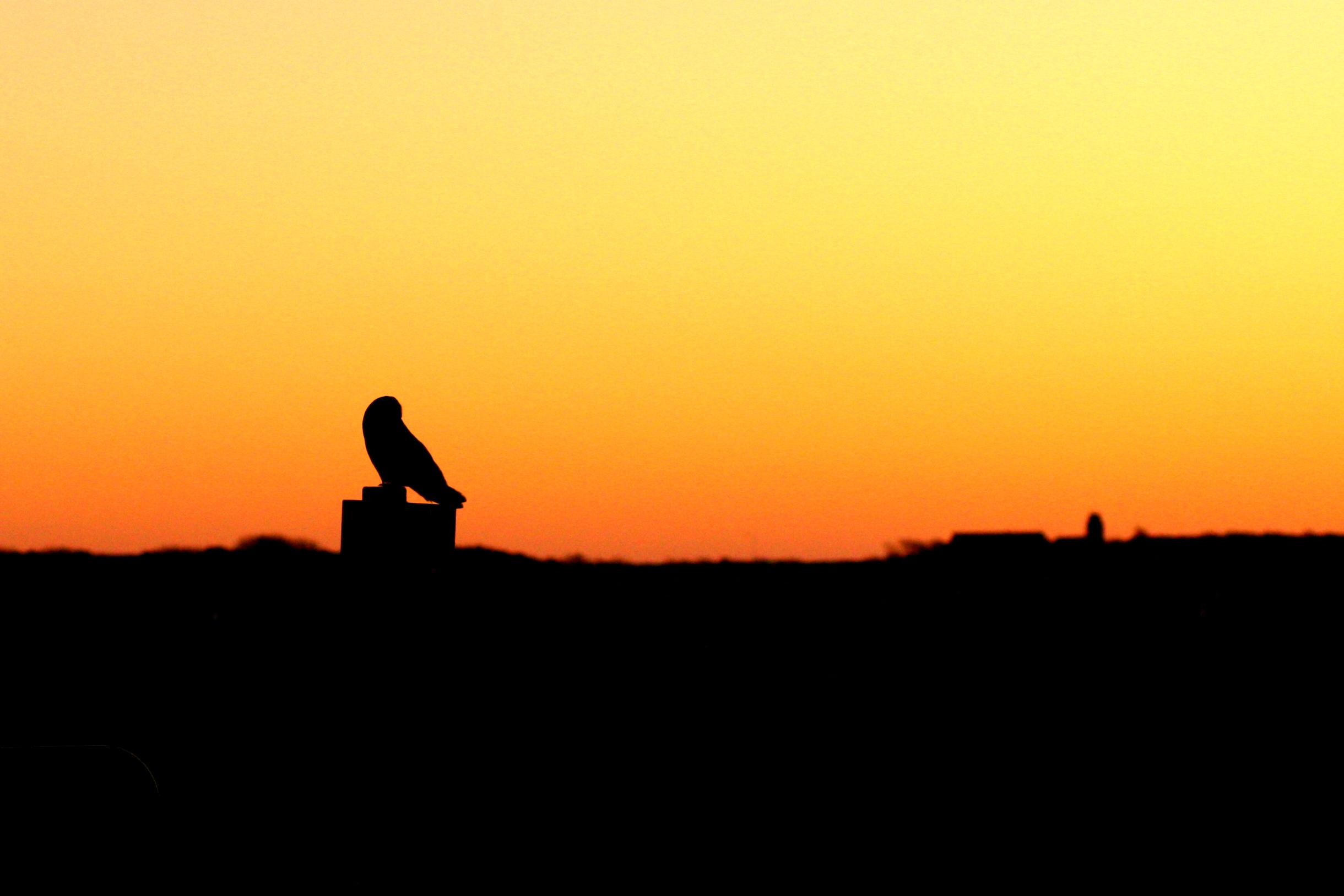 Een velduil bij Ballum gefotografeerd door Robert Pater