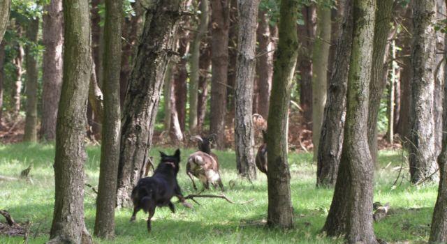 Hond jaagt schapen op