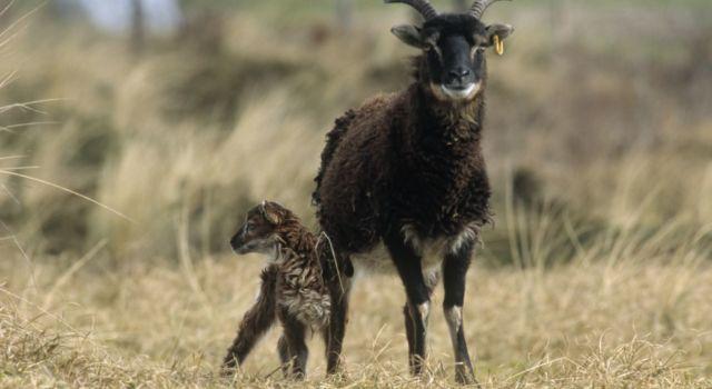 Soayschaap met lam