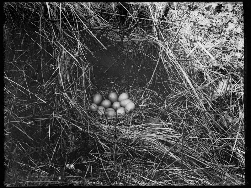 Richard Tepe fazant