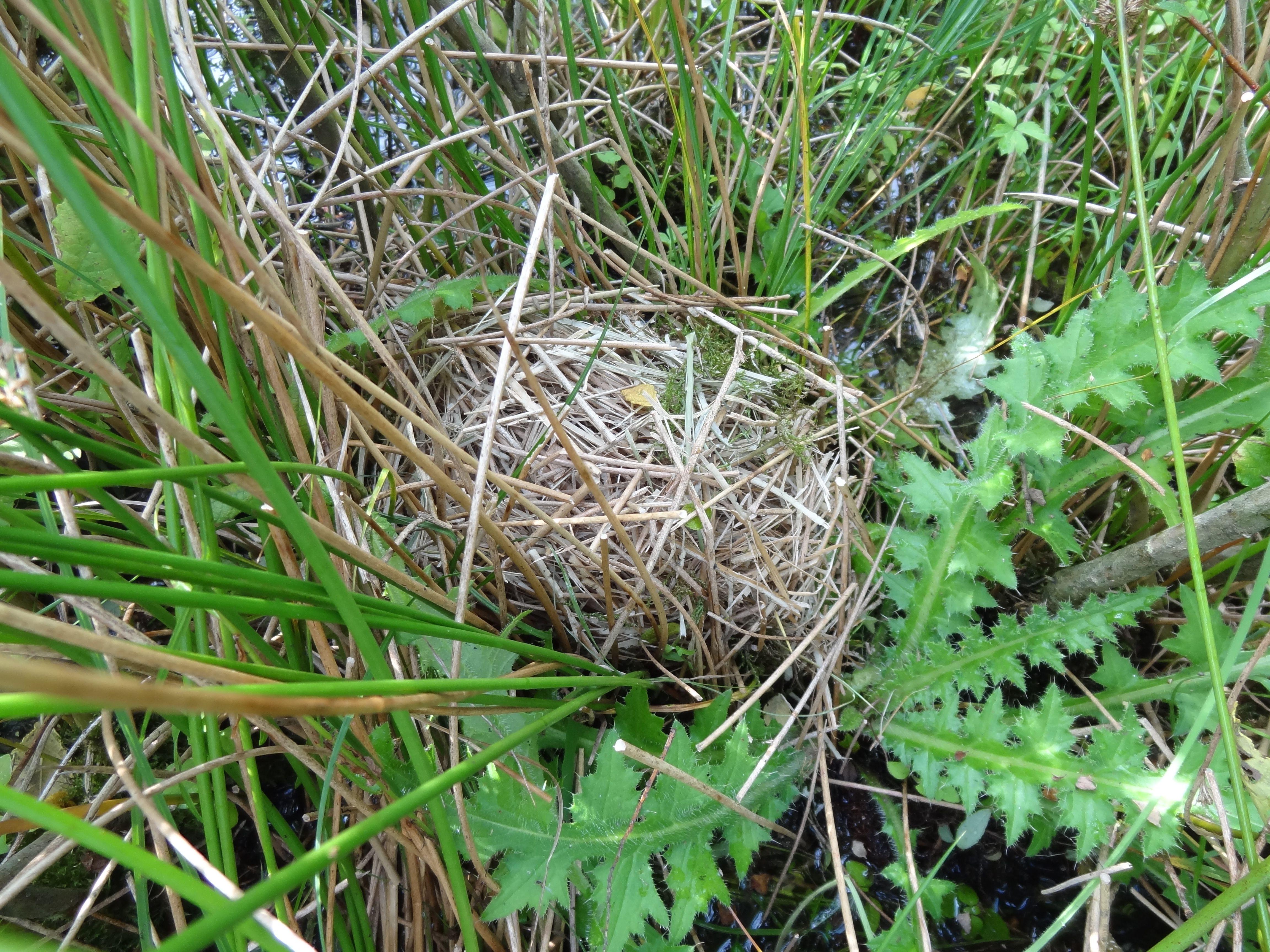 een nestje van een Dwergmuis