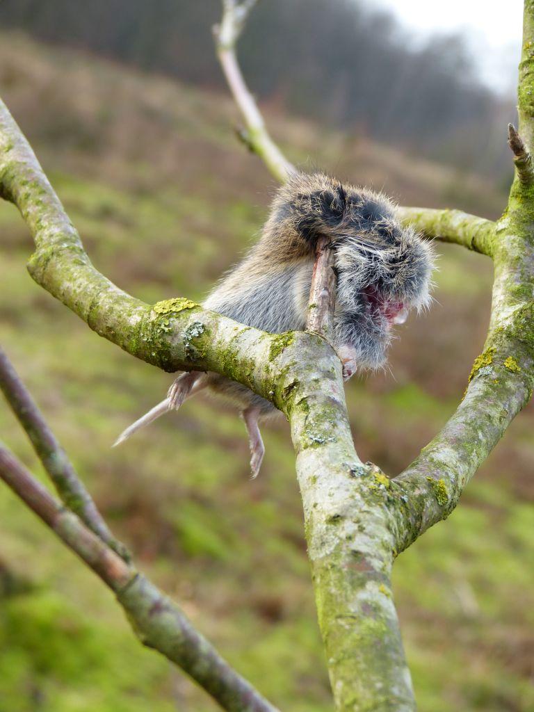 gespietste muis