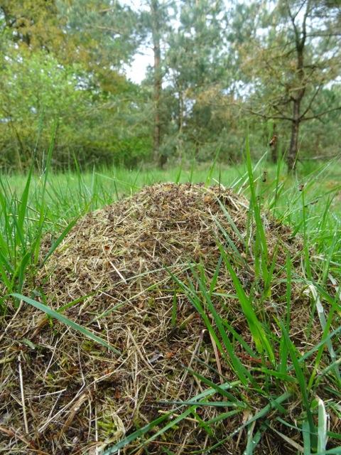 Detail van het nest van de gewone satermier. (foto Pauline Arends)