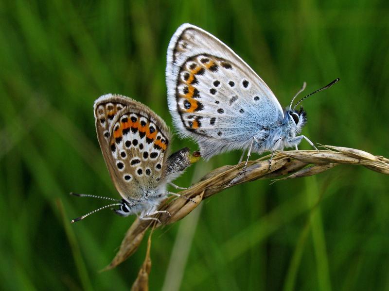 Heideblauwtjes parend
