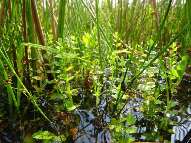 Kruipend moerasscherm is een onopvallende en raadselachtige plan. (foto Berco Hoegen).