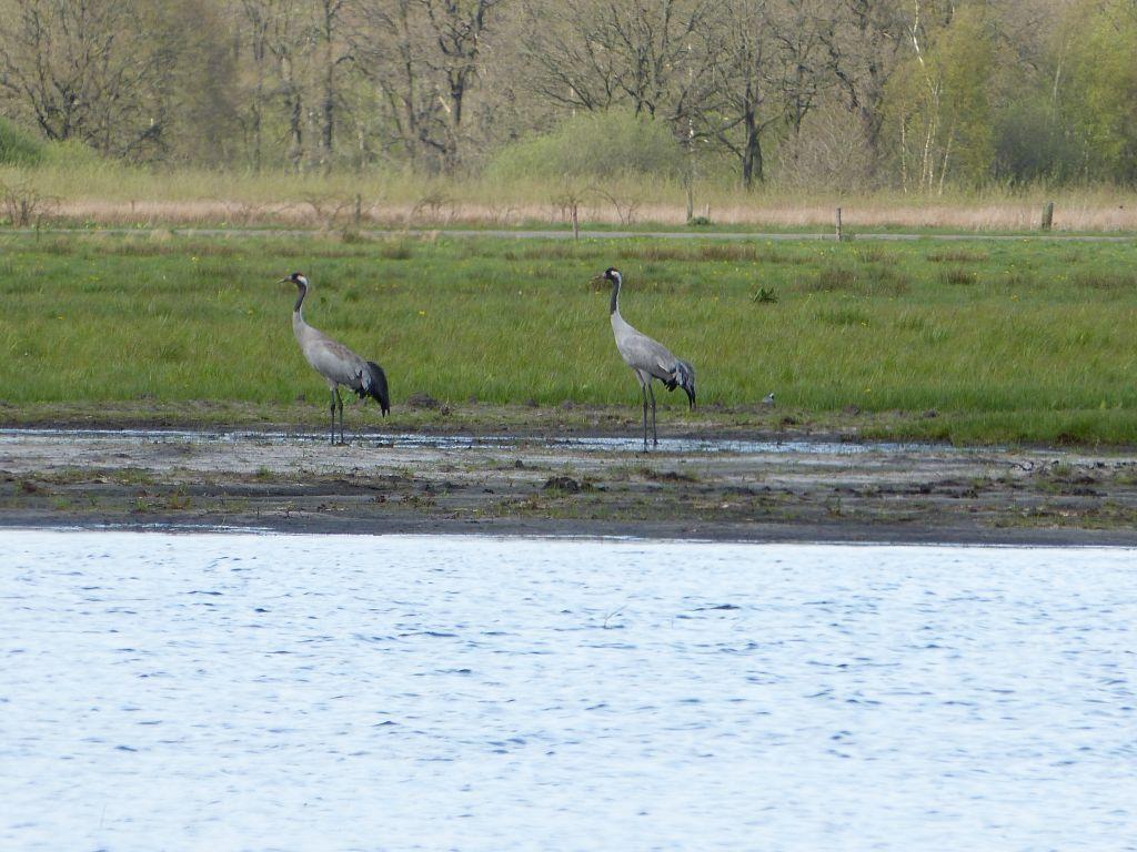 kraanvogelpaar bij de Elperstroom