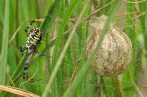 Tijgerspin met eicocon waarin enkele honderden spinnetjes zitten die daar overwinteren