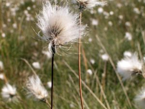 Eenarig wollegras (Eriophorum vaginatum) bron: Wikipedia