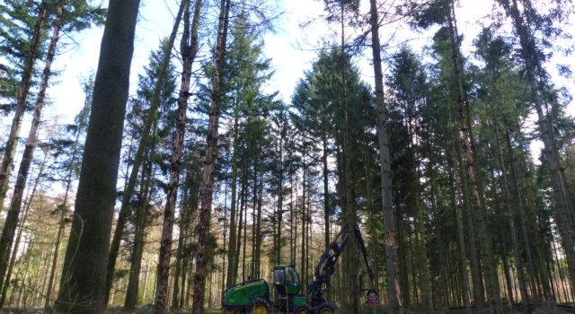 De oogstmachine kapt hier de aangetaste bomen