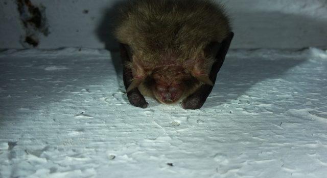overwinterende vleermuis in de handgranaatbunker