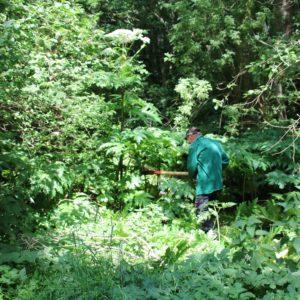 Reuzen berenklauw in De Onlanden (Invasieve Exoot)