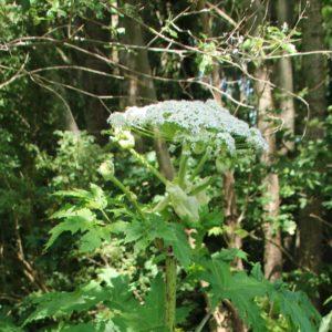 Bloeiende Reuzenberenklauw, één van de Invasieve Exoten in de Onlanden