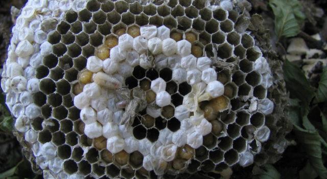 Wespenraat