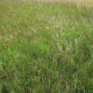 Blauwe knoop indicator voor Blauwgrasland