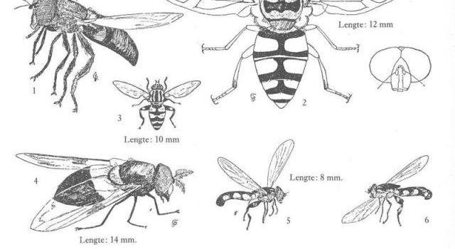 Doodshoofdzweefvlieg in de Geïllustreerde Flora