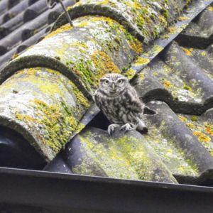 Steenuil op het dak