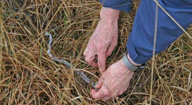 Een afgeworpen addervel in het veld