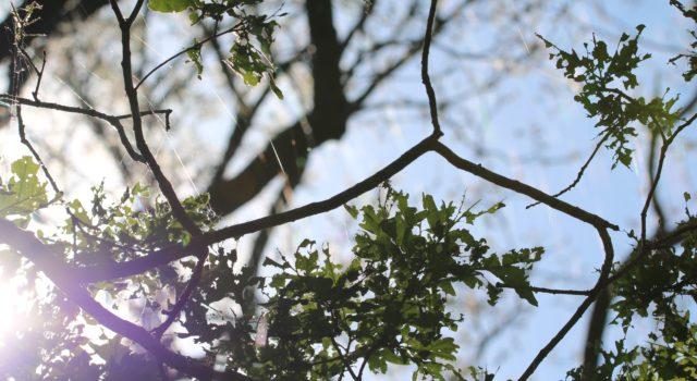 Aangevreten eikenbladeren door de rupsen van de wintervlinder