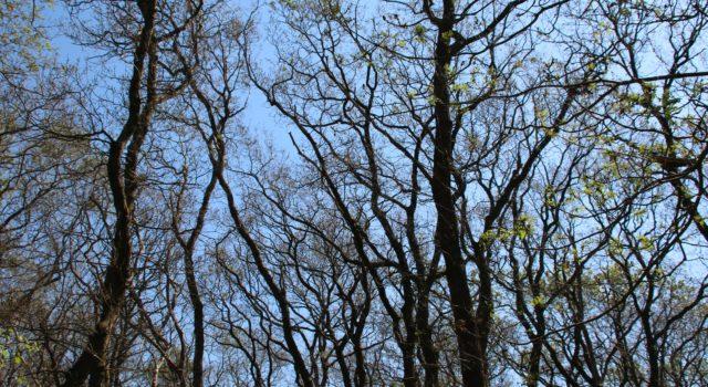 Kaalgevreten eikenbomen