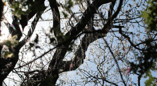Zijden draadjes van de rupsen van de wintervlinder vanuit de boomkronen