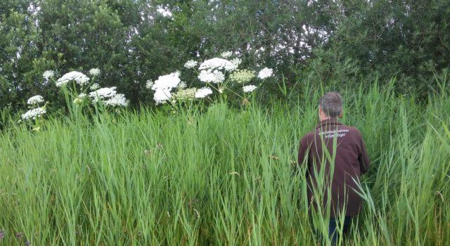 Reuzenbereklauw in moerasgebied De Onlanden nabij de stad Groningen
