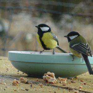 Koolmezen tijdens de Natiaonale Tuinvogeltelling Vogelbescherming Nederland