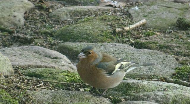 Vink tijdens Tuinvogeltelling Vogelbescherming Nederland