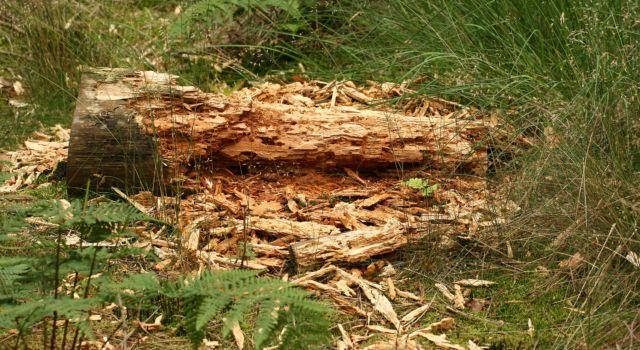 Een zwarte specht zocht in deze houtstobbe naar keverlarves.