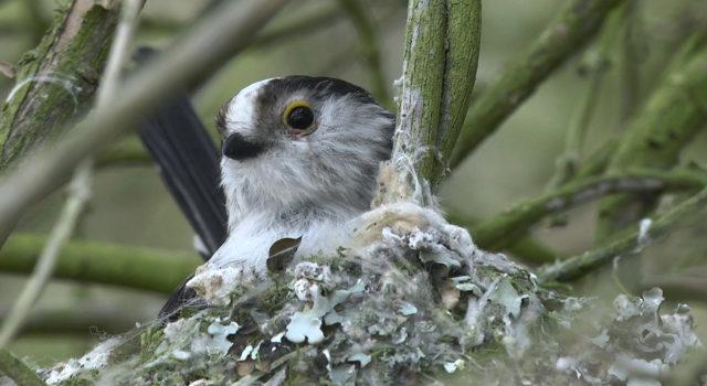 Een staartmeesje in nest. Foto: Henk en Janetta Bos