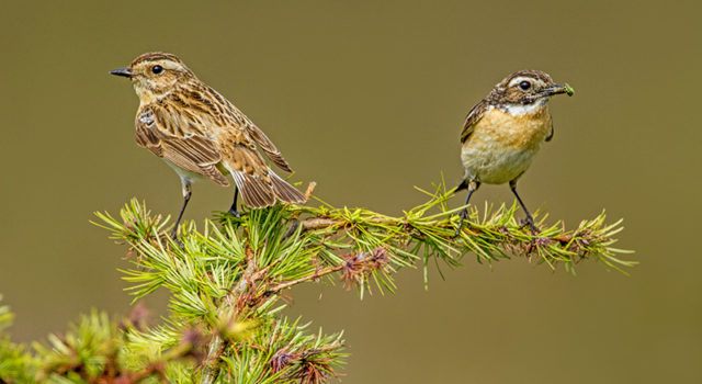 mannetje(rechts) en vrouwtje paapje. Foto. albert Brandsma