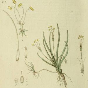 Oeverkruid, geschilderd door J.W. Palmstruch (bron: Svensk botanik, vol. 6)