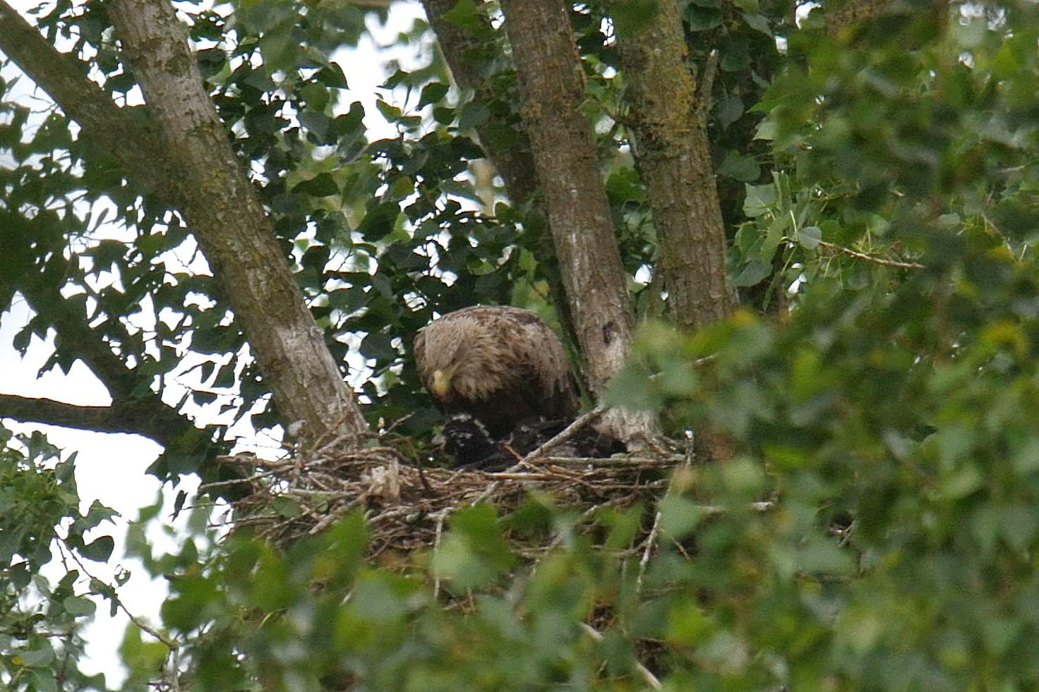 Zeearend op het nest