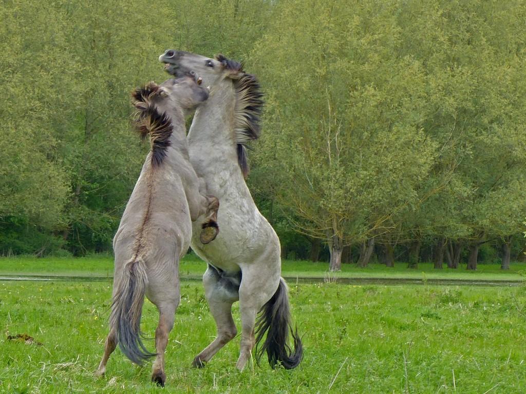 koninckpaarden 01 (Medium)