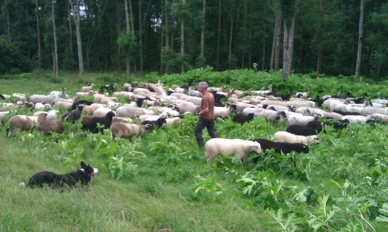 schapen eten berenklauw