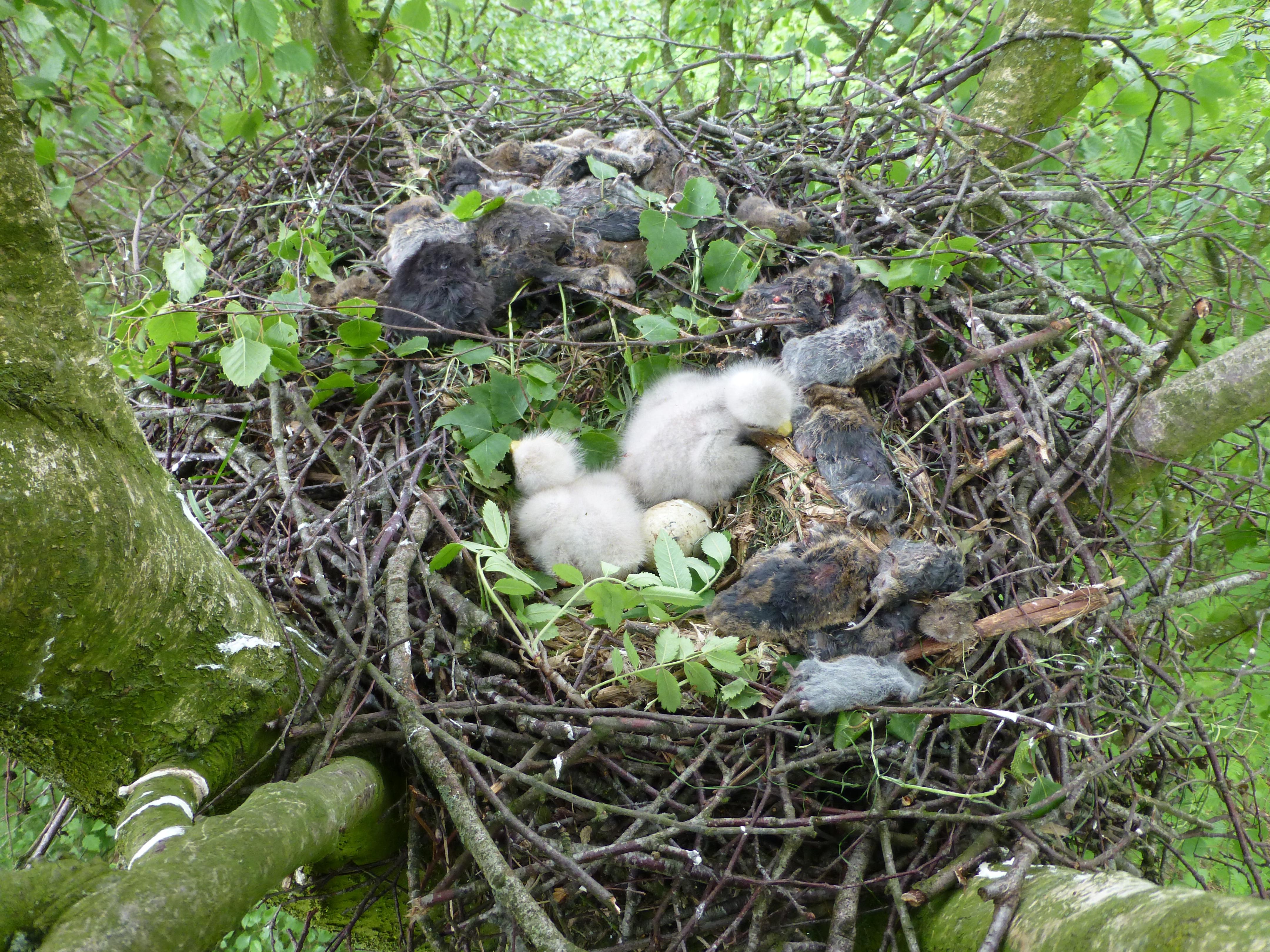 Wat is er allemaal te zien op deze foto: 45 Veldmuizen, 5 Bosmuizen, 4 Woelratten, 1 jonge Haas en 1 vis (waarschijnlijk Brasem) foto: Mosk, 6-5-2014
