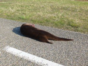 dode otter Lauwersmeer
