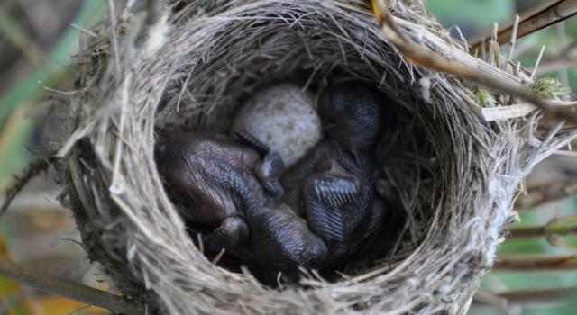 kuikens kleine karekiet met koekoeksei