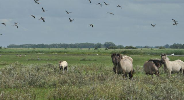 koniks Lauwersmeer - Aaldrik Pot