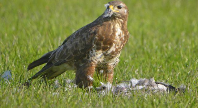 roofvogels en aaseters eten van dode brandganzen vogelgriep