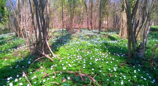 Bosanemoontjes in het voorjaar