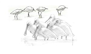 Tekeningen van een groep zilverreigers en lepelaars, gemaakt door Jos Zwarts