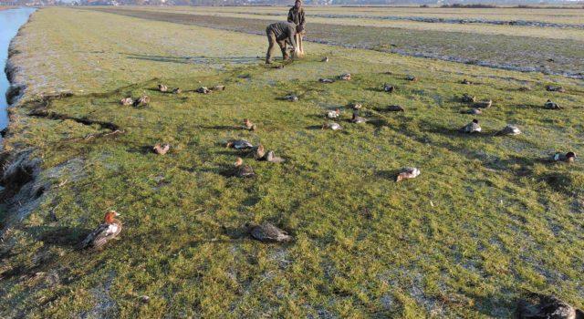Onderzoekers van het NIOO-KNAW vangen met netten de smienten in de polder Zeevang.