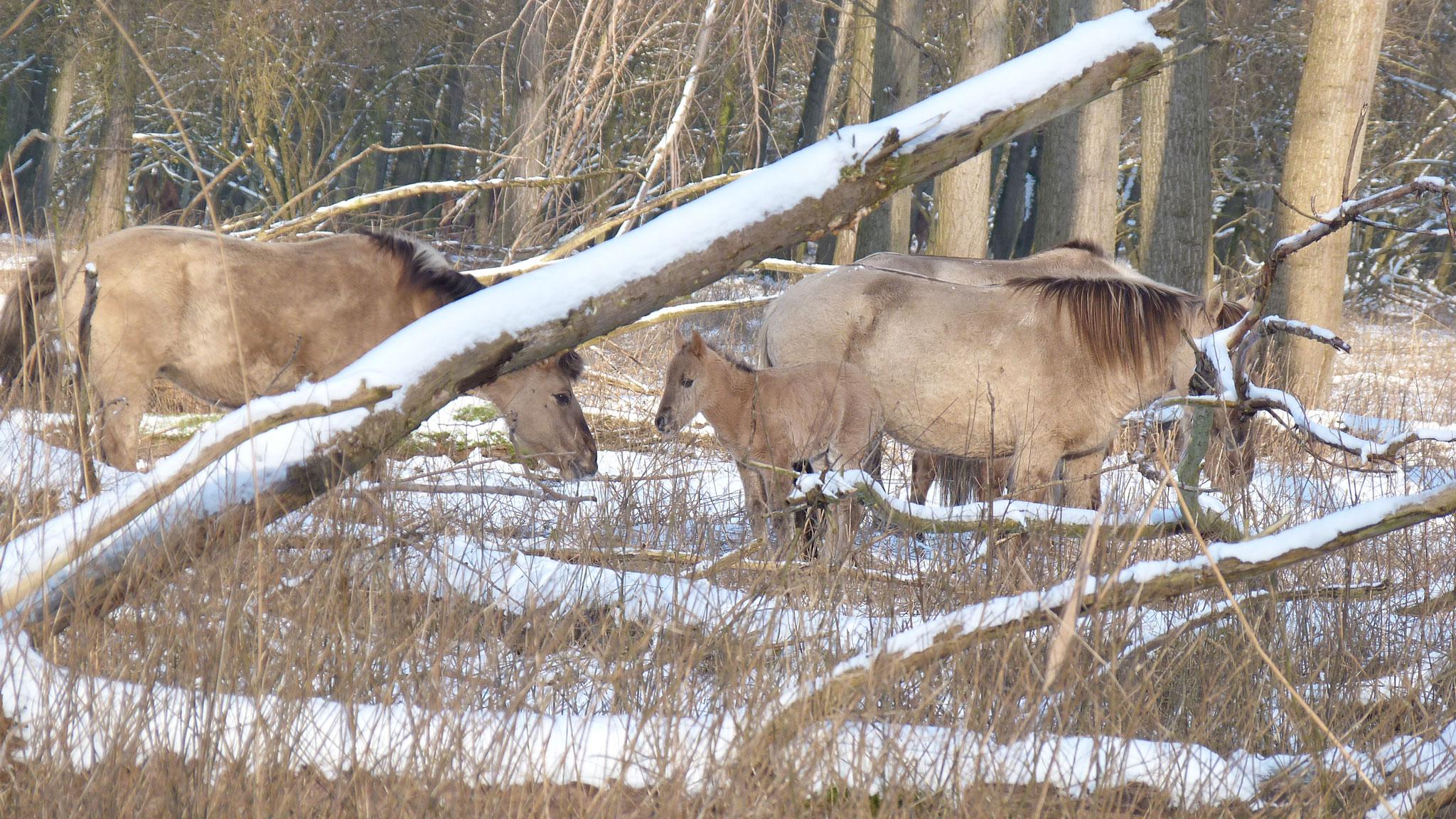 OVP-winter-2012-konik